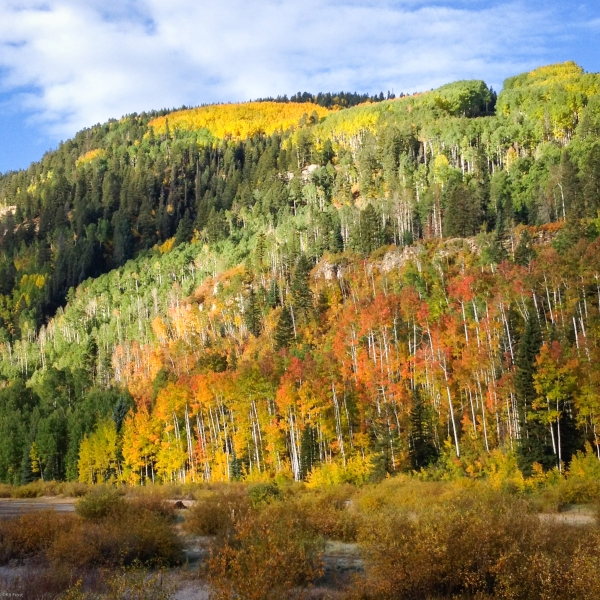 Color report, Yesterday morning.  Just south of Durango Mountain Resort.  We're seeing pockets of color, rather than entire hillsides. ©Kit Frost