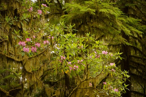 A mix of wild pink rhododendrons, long, hanging moss, and giant coastal Redwood trees define this forest in Northern California